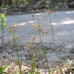 Inflorescences: Luzula acuminata. ~ By Marilee Lovit. ~ Copyright © 2018 Marilee Lovit. ~ lovitm[at]gmail.com