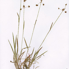 Plant form: Luzula echinata. ~ By CONN Herbarium. ~ Copyright © 2018 CONN Herbarium. ~ Requests for image use not currently accepted by copyright holder ~ U. of Connecticut Herbarium - bgbaseserver.eeb.uconn.edu/