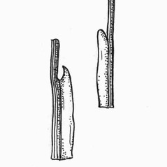 Stems and sheaths: Triglochin palustre. ~ By C. Barre Hellquist. ~ Copyright © 2018 C. Barre Hellquist. ~ C.Barre.Hellquist[at]mcla.edu ~ U. of New Hampshire