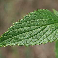Leaves: Agastache foeniculum. ~ By Keir Morse. ~ Copyright © 2020 Keir Morse. ~ www.keiriosity.com ~ www.keiriosity.com