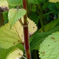 Stems: Agastache scrophulariifolia. ~ By Paul S. Drobot. ~ Copyright © 2020 Paul S. Drobot. ~ www.plantstogrow.com, www.plantstockphotos.com ~ Robert W. Freckmann Herbarium, U. of Wisconsin-Stevens Point