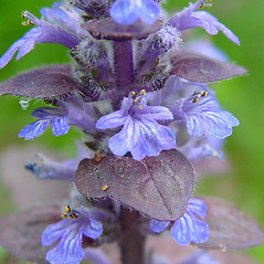 Flowers: Ajuga reptans. ~ By Arthur Haines. ~ Copyright © 2019. ~ arthurhaines[at]wildblue.net
