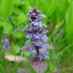 Flowers: Ajuga reptans. ~ By Arthur Haines. ~ Copyright © 2017. ~ arthurhaines[at]wildblue.net