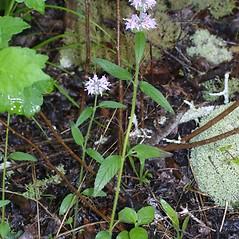 Plant form: Blephilia ciliata. ~ By Steven Baskauf. ~ Copyright © 2019 CC-BY-NC-SA. ~  ~ Bioimages - www.cas.vanderbilt.edu/bioimages/frame.htm