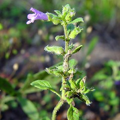 Flowers: Clinopodium acinos. ~ By Arthur Haines. ~ Copyright © 2020. ~ arthurhaines[at]wildblue.net