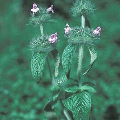 Plant form: Clinopodium vulgare. ~ By John Lynch. ~ Copyright © 2018 New England Wild Flower Society. ~ Image Request, images[at]newenglandwild.org