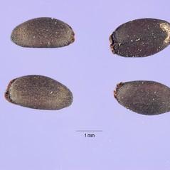 Fruits: Dracocephalum parviflorum. ~ By Jose Hernandez. ~  Public Domain. ~  ~ USDA-NRCS Plants Database - plants.usda.gov/java/