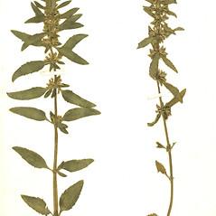 Plant form: Dracocephalum thymiflorum. ~ By Botanic Garden and Botanical Museum Berlin-Dahlem. ~ Copyright © 2017 CC BY-SA. ~  ~ Botanic Garden and Botanical Museum Berlin-Dahlem - ww2.bgbm.org/Herbarium/default.cfm