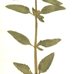 Leaves: Dracocephalum thymiflorum. ~ By Botanic Garden and Botanical Museum Berlin-Dahlem. ~ Copyright © 2020 CC BY-SA. ~  ~ Botanic Garden and Botanical Museum Berlin-Dahlem - ww2.bgbm.org/Herbarium/default.cfm