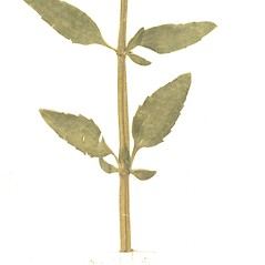 Stems: Dracocephalum thymiflorum. ~ By Botanic Garden and Botanical Museum Berlin-Dahlem. ~ Copyright © 2020 CC BY-SA. ~  ~ Botanic Garden and Botanical Museum Berlin-Dahlem - ww2.bgbm.org/Herbarium/default.cfm