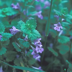 Flowers: Glechoma hederacea. ~ By Mary Walker. ~ Copyright © 2018 New England Wild Flower Society. ~ Image Request, images[at]newenglandwild.org