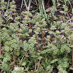 Plant form: Lamium amplexicaule. ~ By Paul S. Drobot. ~ Copyright © 2018 Paul S. Drobot. ~ www.plantstogrow.com, www.plantstockphotos.com ~ Robert W. Freckmann Herbarium, U. of Wisconsin-Stevens Point