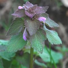 Plant form: Lamium purpureum. ~ By Bryan Hamlin. ~ Copyright © 2017 Bryan Hamlin. ~ bryanthamlin[at]gmail.com