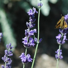 Flowers: Lavandula angustifolia. ~ By Karan Rawlins. ~ Copyright © 2019 CC BY-NC 3.0. ~  ~ Bugwood - www.bugwood.org/