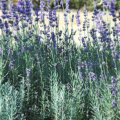 Plant form: Lavandula angustifolia. ~ By Karan Rawlins. ~ Copyright © 2018 CC BY-NC 3.0. ~  ~ Bugwood - www.bugwood.org/