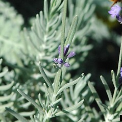 Leaves: Lavandula angustifolia. ~ By Karan Rawlins. ~ Copyright © 2018 CC BY-NC 3.0. ~  ~ Bugwood - www.bugwood.org/