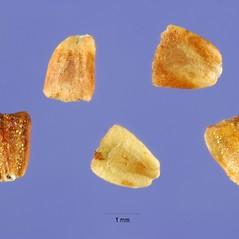 Fruits: Lycopus asper. ~ By Steve Hurst. ~  Public Domain. ~  ~ USDA-NRCS Plants Database - plants.usda.gov/java/