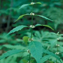 Plant form: Lycopus uniflorus. ~ By Frank Bramley. ~ Copyright © 2018 New England Wild Flower Society. ~ Image Request, images[at]newenglandwild.org