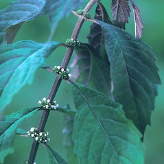 Leaves: Lycopus virginicus. ~ By Albert Bussewitz. ~ Copyright © 2017 New England Wild Flower Society. ~ Image Request, images[at]newenglandwild.org