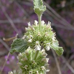 Flowers: Marrubium vulgare. ~ By Keir Morse. ~ Copyright © 2018 Keir Morse. ~ www.keiriosity.com ~ www.keiriosity.com