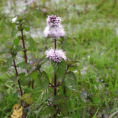 Plant form: Mentha aquatica. ~  ~ Copyright © 2018. ~
