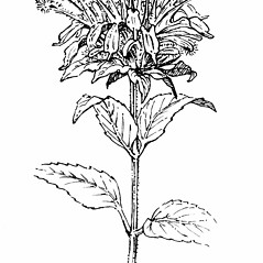 Flowers: Monarda fistulosa. ~ By Gordon Morrison. ~ Copyright © 2019 New England Wild Flower Society. ~ Image Request, images[at]newenglandwild.org