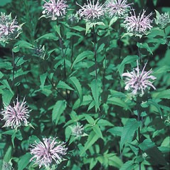 Plant form: Monarda fistulosa. ~ By John Lynch. ~ Copyright © 2019 New England Wild Flower Society. ~ Image Request, images[at]newenglandwild.org