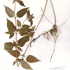 Plant form: Monarda media. ~ By CONN Herbarium. ~ Copyright © 2017 CONN Herbarium. ~ Requests for image use not currently accepted by copyright holder ~ U. of Connecticut Herbarium - bgbaseserver.eeb.uconn.edu/