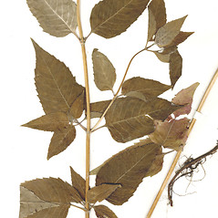 Leaves: Monarda media. ~ By CONN Herbarium. ~ Copyright © 2017 CONN Herbarium. ~ Requests for image use not currently accepted by copyright holder ~ U. of Connecticut Herbarium - bgbaseserver.eeb.uconn.edu/