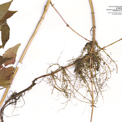 Stems: Monarda media. ~ By CONN Herbarium. ~ Copyright © 2017 CONN Herbarium. ~ Requests for image use not currently accepted by copyright holder ~ U. of Connecticut Herbarium - bgbaseserver.eeb.uconn.edu/