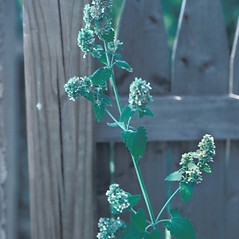Plant form: Nepeta cataria. ~ By John Lynch. ~ Copyright © 2018 New England Wild Flower Society. ~ Image Request, images[at]newenglandwild.org