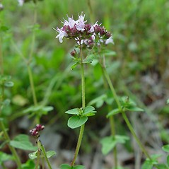 Plant form: Origanum vulgare. ~ By Arthur Haines. ~ Copyright © 2019. ~ arthurhaines[at]wildblue.net