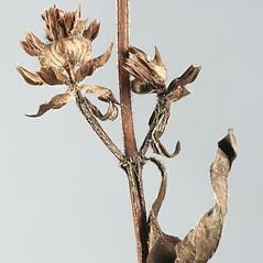 Stems: Prunella vulgaris. ~ By Arieh Tal. ~ Copyright © 2017 Arieh Tal. ~ http://botphoto.com/ ~ Arieh Tal - botphoto.com