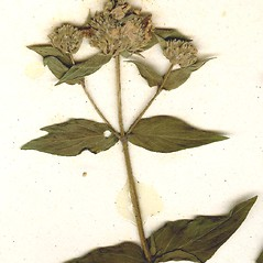 Fruits: Pycnanthemum muticum. ~ By CONN Herbarium. ~ Copyright © 2018 CONN Herbarium. ~ Requests for image use not currently accepted by copyright holder ~ U. of Connecticut Herbarium - bgbaseserver.eeb.uconn.edu/