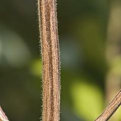 Stems: Pycnanthemum muticum. ~ By John Gwaltney. ~ Copyright © 2018 John Gwaltney. ~ southeasternflora.com ~ Southeastern Flora - www.southeasternflora.com/