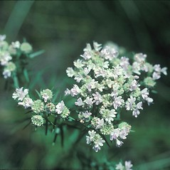 Flowers: Pycnanthemum tenuifolium. ~ By John Lynch. ~ Copyright © 2018 New England Wild Flower Society. ~ Image Request, images[at]newenglandwild.org
