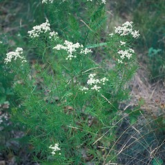 Plant form: Pycnanthemum tenuifolium. ~ By John Lynch. ~ Copyright © 2019 New England Wild Flower Society. ~ Image Request, images[at]newenglandwild.org