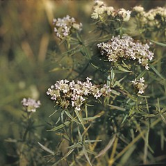 Leaves: Pycnanthemum tenuifolium. ~ By Frank Bramley. ~ Copyright © 2018 New England Wild Flower Society. ~ Image Request, images[at]newenglandwild.org