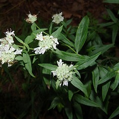 Flowers: Pycnanthemum torrei. ~ By Michael Hassler. ~ Copyright © 2018 Michael Hassler. ~ Requests for image use not currently accepted by copyright holder ~ Flowering Plants of Pennsylvania - www.botanik.uni-karlsruhe.de/FloraKA/PA/list.php