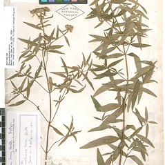 Plant form: Pycnanthemum torrei. ~ By William and Linda Steere and the C.V. Starr Virtual Herbarium. ~ Copyright © 2018 William and Linda Steere and the C.V. Starr Virtual Herbarium. ~ Barbara Thiers, Director; bthiers[at]nybg.org ~ C.V. Starr Herbarium - NY Botanical Gardens
