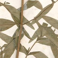 Stems: Pycnanthemum torrei. ~ By William and Linda Steere and the C.V. Starr Virtual Herbarium. ~ Copyright © 2018 William and Linda Steere and the C.V. Starr Virtual Herbarium. ~ Barbara Thiers, Director; bthiers[at]nybg.org ~ C.V. Starr Herbarium - NY Botanical Gardens