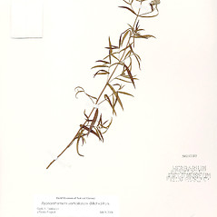 Plant form: Pycnanthemum verticillatum. ~ By The Field Museum of Natural History, Chicago. ~ Copyright © 2018 The Field Museum of Natural History, Chicago. ~ cniezgoda[at]fieldmuseum.org ~ Field Museum of Natural History - Chicago