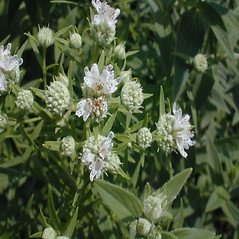 Flowers: Pycnanthemum verticillatum. ~ By John Hilty. ~ Copyright © 2018 John Hilty. ~ john[at]illinoiswildflowers.info ~ Illinois Wildflowers - www.illinoiswildflowers.info/index.htm