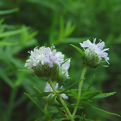 Flowers: Pycnanthemum virginianum. ~ By Arthur Haines. ~ Copyright © 2019. ~ arthurhaines[at]wildblue.net