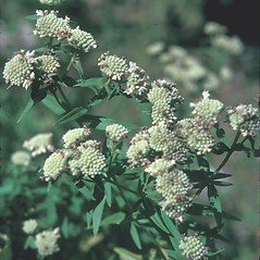 Plant form: Pycnanthemum virginianum. ~ By Jean Baxter. ~ Copyright © 2019 New England Wild Flower Society. ~ Image Request, images[at]newenglandwild.org