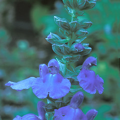 Flowers: Salvia azurea. ~ By William Cullina. ~ Copyright © 2019 William Cullina. ~ bill[at]williamcullina.com