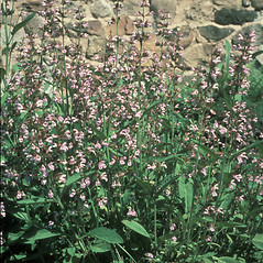 Plant form: Salvia officinalis. ~ By Jean Baxter. ~ Copyright © 2017 New England Wild Flower Society. ~ Image Request, images[at]newenglandwild.org