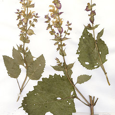 Plant form: Salvia sclarea. ~ By CONN Herbarium. ~ Copyright © 2018 CONN Herbarium. ~ Requests for image use not currently accepted by copyright holder ~ U. of Connecticut Herbarium - bgbaseserver.eeb.uconn.edu/