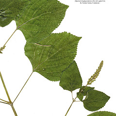 Leaves: Salvia tiliifolia. ~ By CONN Herbarium. ~ Copyright © 2018 CONN Herbarium. ~ Requests for image use not currently accepted by copyright holder ~ U. of Connecticut Herbarium - bgbaseserver.eeb.uconn.edu/