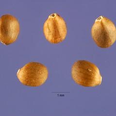 Fruits: Salvia verticillata. ~ By Jose Hernandez. ~  Public Domain. ~  ~ USDA-NRCS Plants Database - plants.usda.gov/java/